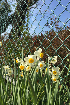 スイセンの花が街角に目立ちます