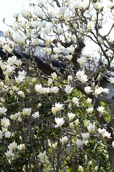 街角にハクモクレンの花が目立つようになりました