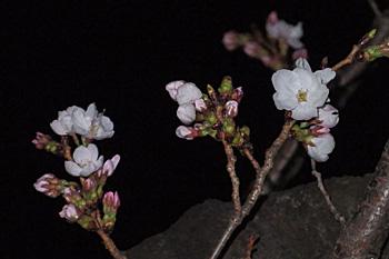 静岡のサクラ(ソメイヨシノ)の開花日・満開日/気象庁