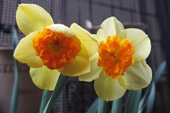 スイセン スワーブの花