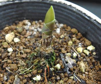 枯れたと思ったスズランから新芽が出てきました