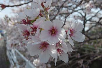 愛宕霊園(静岡市葵区)のソメイヨシノ 2018.03.31