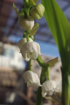スズラン:開花