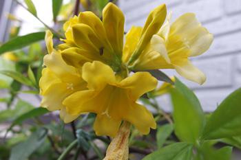 今年もカロライナジャスミンの花が咲きました