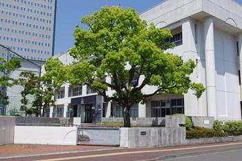 旧静岡市立青葉小学校正門のクスノキ