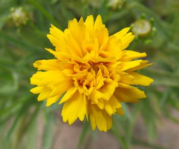 コレオプシス:3回目の冬を越した株の開花