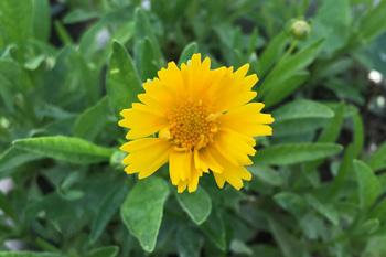 育てるのを終わりにしようと思ったコレオプシスが開花