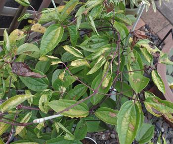 クレマチス(アンスンエンシス):猛暑の影響で葉色が落ちてしまった