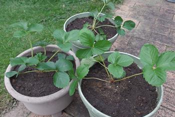 イチゴ:宝交早生の苗を植えました