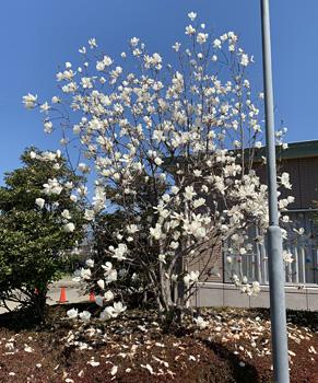 街角はハクモクレンが花盛りです