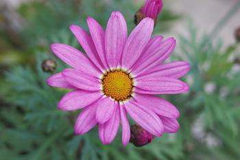 マーガレット:今年もラブリーフレンドの花が咲きました