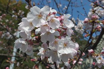 愛宕霊園のソメイヨシノが咲き始めました 2019