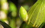 デンドロビュームの花芽