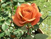ミニバラ テディベアの開花