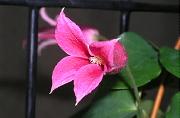 クレマチスの開花