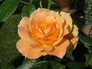 フロリバンダ・リーズの開花1