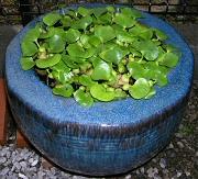 親メダカの鉢