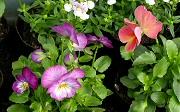 近所のビオラの花