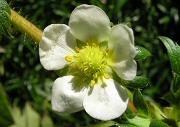 イチゴ:休眠前の開花