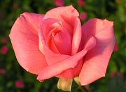 バラ:12月の花
