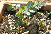 バラ:新芽の伸長