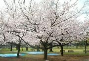 駿府公園のサクラ満開