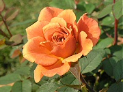 ミニバラ「テディベア」の開花