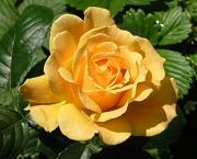 バラ:フロリバンダ系の開花