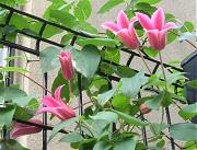 クレマチス:テキセンシス系の2番花が花盛り