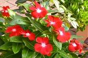 こぼれ種のニチニチソウが花盛り