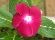 こぼれ種から開花したニチニチソウ2