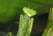 デンドロビュームの葉にとまるカマキリ