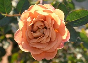 バラ:テディベア、今年最後の花