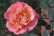 バラ:テディベア、新年に咲く花