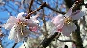 ジュウガツザクラの花