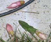 開花が望めないかもしれないシャコバサボテン