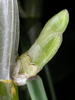 デンドロビューム:生長してきた花芽