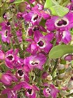 デンドロビューム:レッドスター、今年も開花