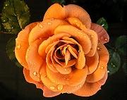 ミニバラ「デディベア」が開花しました