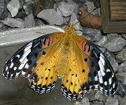 カバマダラに擬態したツマグロヒョウモンの雌成虫