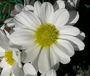 今年の秋も咲いた小菊