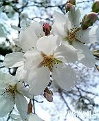 愛宕霊園のソメイヨシノ