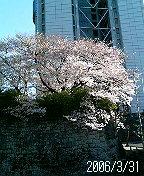 静岡県庁前のソメイヨシノ