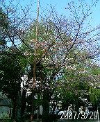 鷹匠公園のサクラは2分咲き