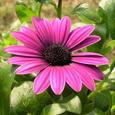 African daisy オステオスペルマム