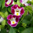 Torenia トレニア