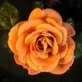 Rose バラ(ミニチュアローズ)