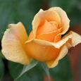 Rose バラ(フロリバンダ)