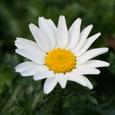 Swamp Chrysanthemum クリサンセマム