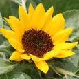 Sunflower ヒマワリ